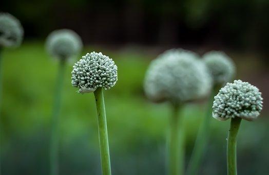 Flower, Green, Onion, Onion Seed