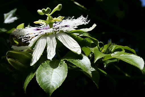 Flower, Bloom, Granadilla, Petals, Tendrils, Delicate