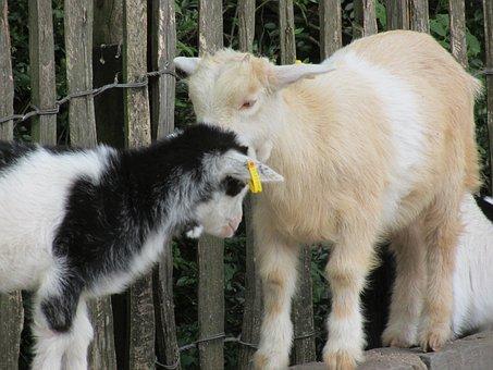 Goats, Aachen, Zoo, Strength Lings