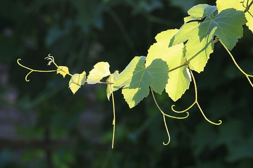 Grapevine, Vine, Branch, Leaves, Tendrils, Green, Light