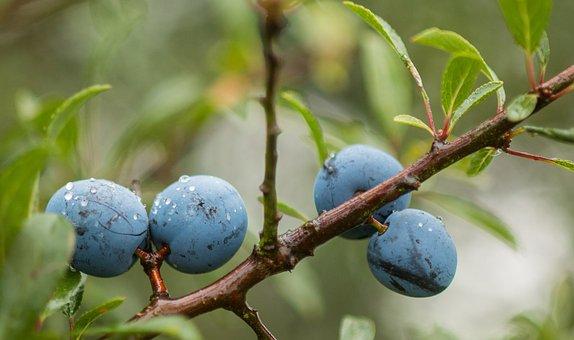 Schlehendorn, Schlehe, Blackthorn, Fruit, Heckendorn