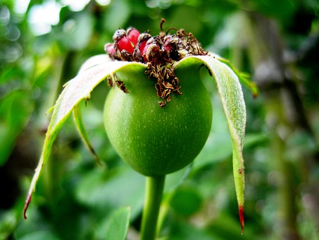 Rose Hip, Hip, Wild Brier, Rose Apple, Red, Green