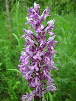 Orchis Militaris, Military Orchid, Wildflower, Flora