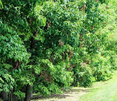 Trees, Foliage, Insect Damage, Cicada Damage, Tree Line