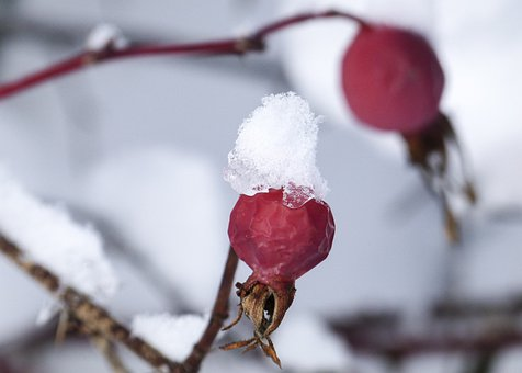 Wild Brier, Dog Rose, Hip, Rose Hip, Withered, Frozen