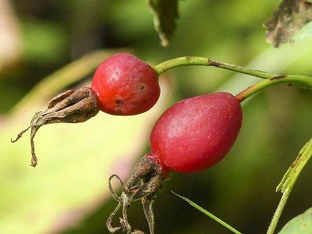 Dog Rose, Rose Hip, Wild Brier, Wild Rose, Fruit, Berry