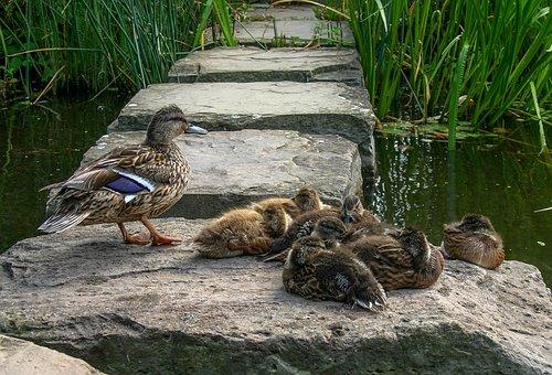 Duck Family, Ducks, Duck, Animal, Water, Nature, Wild