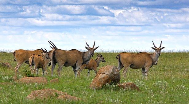 Eland, Antelope, Buck, Animal, Wildlife, Africa