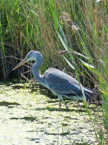 Parc Natural De Delta De L'ebre, Heron, Ardea Cinerea