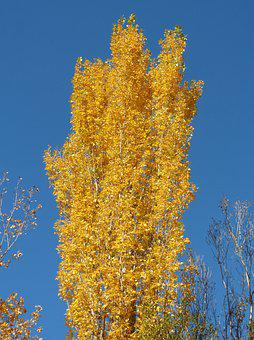 Poplar, Yellow Leaves, Falling Leaves, Autumn