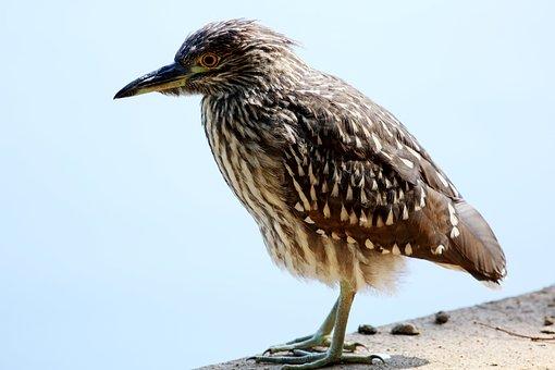 Bird, Striated Heron, Lake, Looking, Birdie