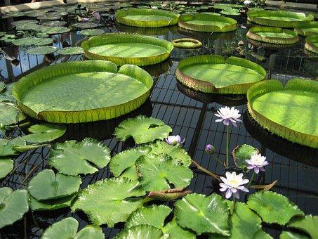 Lily Pad, Pond, Kew Gardens, Botanic, Botanical, Flower