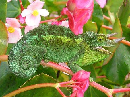 Chameleon, Three Horned Chameleon, Chamaeleo Jacksonii