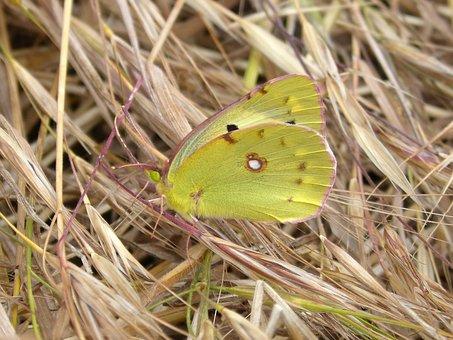 Colias Croceus, Butterfly, Safranera De L'alfals