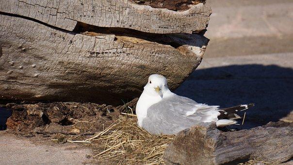 Gull Nest, Cooking Up, Nest, Larus Canus