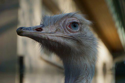 Strauss, Albino, Close Up, Eye, Large, Flightless Bird
