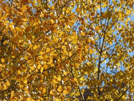 Yellow Leaves, Poplars, Populus Alba, Falling Leaves
