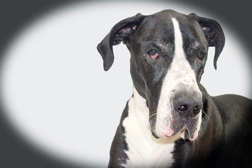 Dog, Dog Face, Great Dane, Mantle