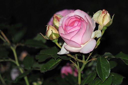 Rose, Night, Pink, Blossom, Bloom, Bud, Flower