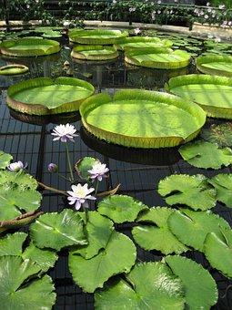 Pond, Lily Pad, Kew Gardens, Botanic, Botanical, Flower
