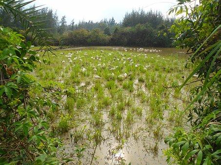 Hainan, China, Geese, Birds, Free Range, Wildlife, Pond