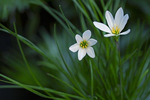 Rain-lily, Atamasco Lily, White, Flower, Flora, Nature