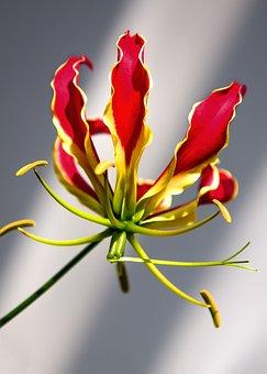 Gloriosa, Flower, Climber, Plant, Gloriosa Superba