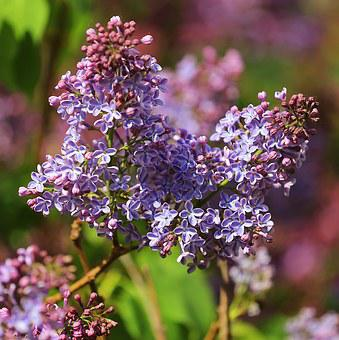Lilac, Flower, Spring, Closeup, Purple, Photo, Flowers