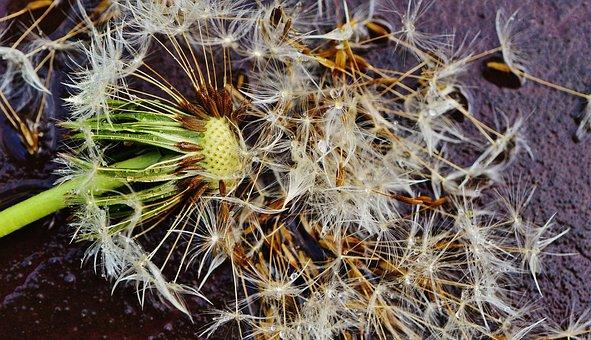 Dandelion, Plant, Rain, Drip, Wet, Nature, Flower