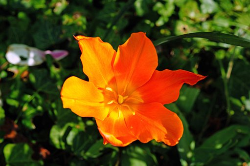 Tulip, Lilies, Ornamental Plant, Garden Plant, Light