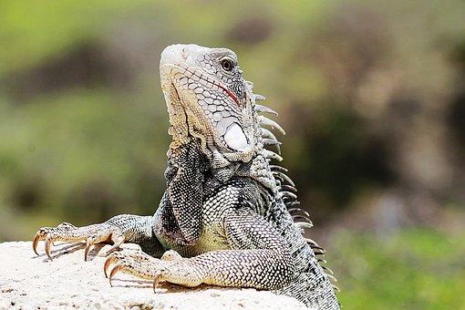 Iguana, Curaçao, Nature, Animal, Animals