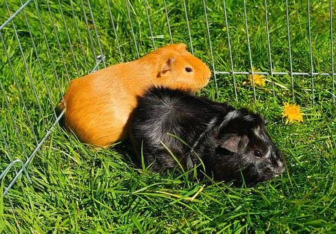 Guinea Pig, Rodent, Animals, Smooth Hair, Rosette