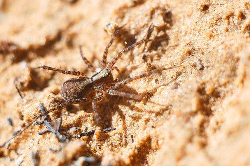 Spider, Pauček, Sand, Living Nature, Arachnophobia