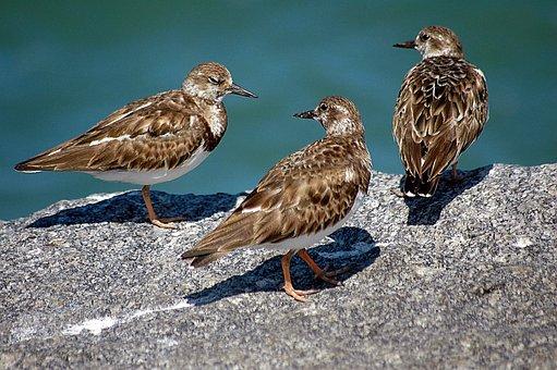 Ruddy Turn Stone, Birds, Avian, Sea Birds, Nature