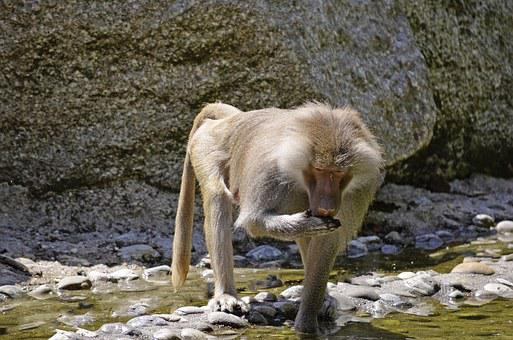 Baboon, Monkey, Primates, Family, Guinea Baboon, Mammal