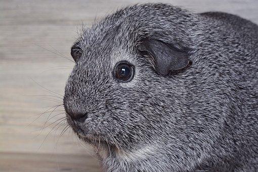Guinea Pig, Smooth Hair, Silver, Black And White Agouti