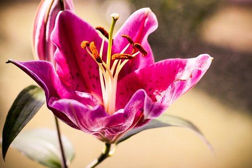 Lily, Flower, Nature, Blossom, Bloom, Flower Stamp