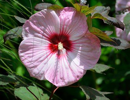 Giant Hibiscus, Hibiscus Flower, Floral, Leaf, Bloom