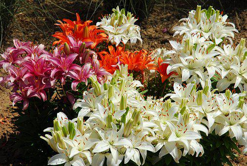 Lilies, Flowers, Blossom, Bloom, Flower Stamp, Iris