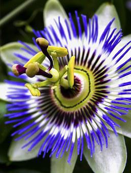 Passiflora, Blossom, Bloom, Close, Passion Flower