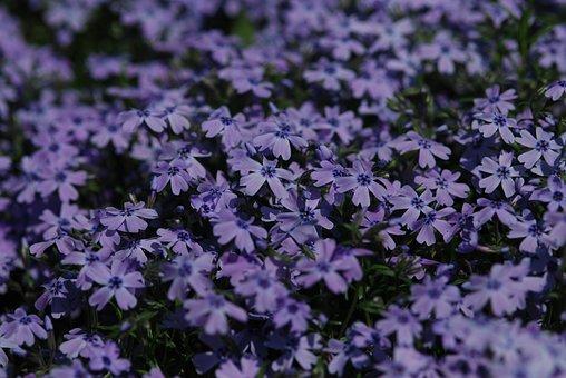 Flowers, Phlox, Ground Pink, Gregariousness, Set, Blue