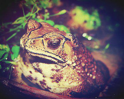 Toad, Marinus, Giant, Neotropical, Bufo, Poisonous