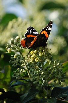 Painted Lady, Vanessa Cardui, Lepidoptera, Butterfly