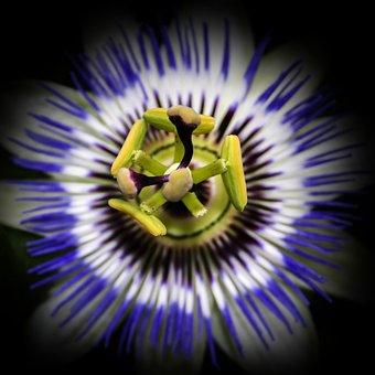 Passiflora, Blossom, Bloom, Close Up, Passion Flower