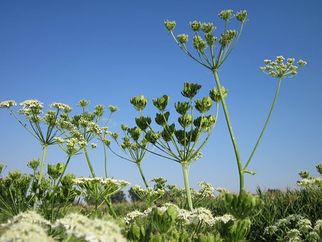 Heracleum Sphondylium, Sky, Macro, Close-up, Plant