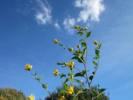 Topinambus, Sky, Clouds, Flowers, Plant, Greenery