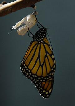Monarch, Butterfly, Cocoon, Insect, Nature, Orange