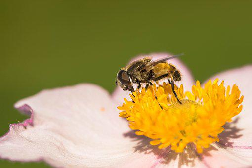 Hover Fly, Collect Nectar, Nectar Search, Blossom
