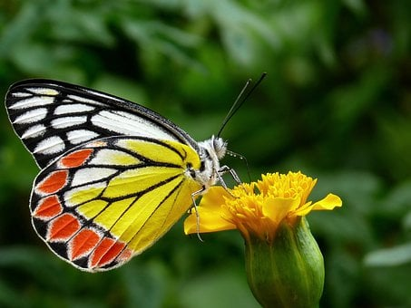 Butterfly, Common Jezebel, Plant, Plants, Flower