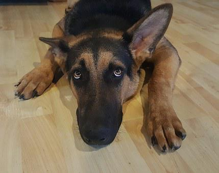 German Shepherd, Dog, Alsatian, Canine, Puppy, Purebred